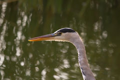 Grey Heron Portrait Stock Image