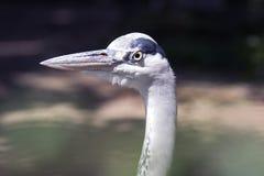 Grey heron Portrait looking stubborn grumpy stock photography