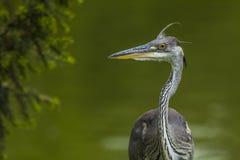 Grey heron portrait Stock Image