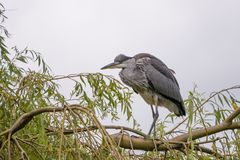 Grey Heron portrait perched in a willow tree royalty free stock photo