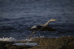 Grey heron portrait reflection fishing. Grey heron portrait, close up reflection fishing royalty free stock photo