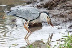 Grey Heron with prey. The Grey Herons plumage is largely grey above, and off-white below. Adults have a white head with a broad black supercilium and slender Stock Photo