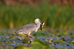 Grey Heron with prey Royalty Free Stock Images