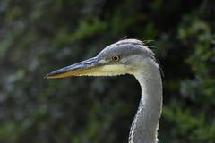 Grey Heron, primo piano fotografia stock libera da diritti