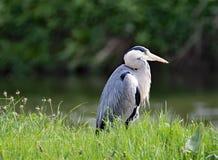 Grey Heron-Profil, an Sprotbrough-Blitz, Doncaster Lizenzfreie Stockfotos