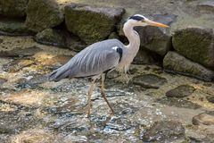 Grey Heron Profile Fotos de Stock Royalty Free