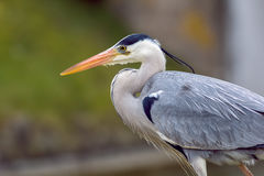Grey heron in profile Stock Photos
