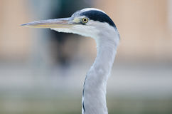 Grey Heron. A grey heron in profile from the neck up to head and beak Stock Photo