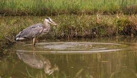 Grey Heron que coge un pescado Fotografía de archivo libre de regalías