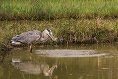 Grey Heron que coge un pescado Fotografía de archivo