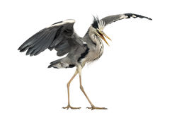 Grey Heron que hace una danza de acoplamiento, Ardea Cinerea Imagen de archivo libre de regalías