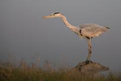 Grey Heron que se coloca en agua Imagen de archivo libre de regalías