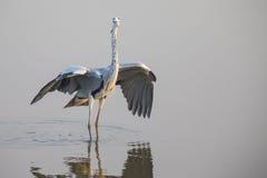 Grey Heron que se coloca en agua Fotografía de archivo libre de regalías