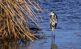 Grey Heron on the Reeds (Ardea cinerea) Stock Photo