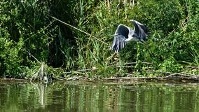 Grey heron in reeds at Danube delta in Romania stock photography