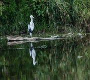 Grey Heron reflecting stock photos