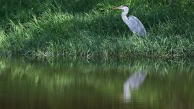 Grey heron with reflection in water stock video