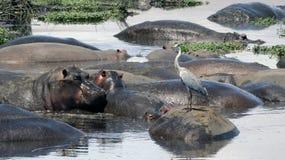 Grey Heron Relaxing på en Hippopatomus Arkivbild