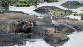 Grey Heron Relaxing su un Hippopatomus Fotografia Stock