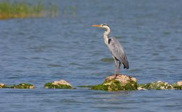 Grey heron resting Royalty Free Stock Photos