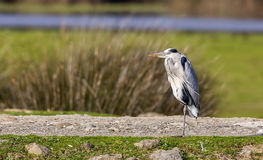 Grey Heron Resting Royalty Free Stock Image
