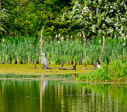 Grey Heron resting on branch Royalty Free Stock Photo