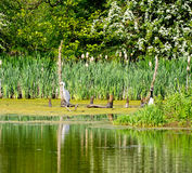 Grey Heron resting on branch Royalty Free Stock Photos