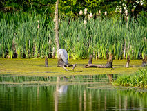 Grey Heron resting on branch Stock Image