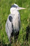 Grey Heron resting in reed bed Stock Photography