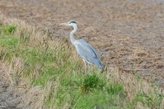 Grey heron on the rice paddy in the natural park of Albufera, Valencia, Spain, Europe royalty free stock photos