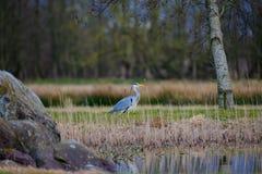 Grey Heron in riet door vijver royalty-vrije stock foto's