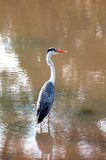 Grey Heron. In the river Stock Photo