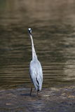 Grey heron on a river Royalty Free Stock Images
