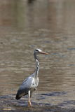 Grey heron on a river Royalty Free Stock Photography