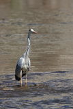 Grey heron on a river Stock Image