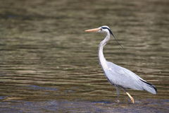Grey heron on a river Stock Images