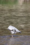 Grey heron on a river Stock Photo