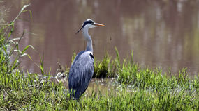 Grey heron on the river bank Stock Images