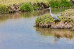 Grey Heron By River Bend Royalty Free Stock Images