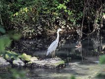 Grey Heron in the river, Spain stock images