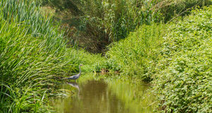 Grey Heron at river with vegetation Royalty Free Stock Photography