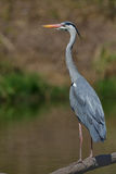 Grey heron. On riverbank in Kruger National Park, South Africa Royalty Free Stock Photo