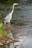 Grey Heron on rivers edge Stock Image