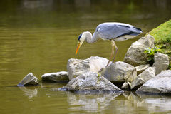 Grey heron on rock Stock Image