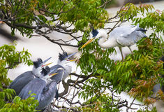 The Grey Heron & It's three Baby Royalty Free Stock Photography