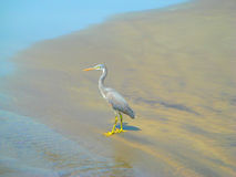 Grey Heron on the sandy beach during high tide. Little egret grey Heron on the sandy shore of the ocean at high tide Stock Photo