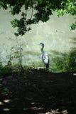 Grey Heron Scene Stock Photography
