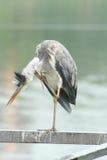 Grey heron scratches Stock Image