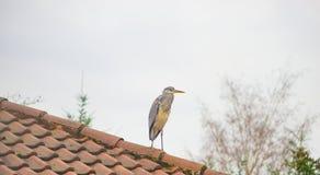 Grey Heron se tenant sur le toit d'une maison de famille Photos stock