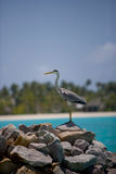 Grey heron by sea. Side view of grey heron perched on rocks by sea with Maldives Islands in background Royalty Free Stock Images